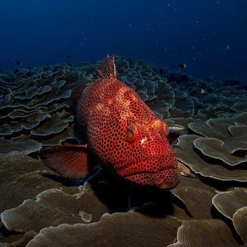 Mar Rojo – Mero – 640×480
