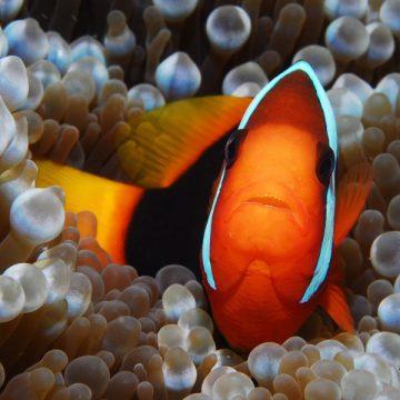 Mar Rojo – Pez payaso – 600×600